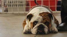 Bulldog ingles.