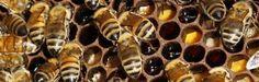 """Deze Fransman leert bijen honing maken van cannabis: """"Het is goed voor de gezondheid"""" - http://www.ninefornews.nl/deze-fransman-leert-bijen-honing-maken-van-cannabis-het-is-goed-voor-de-gezondheid/"""