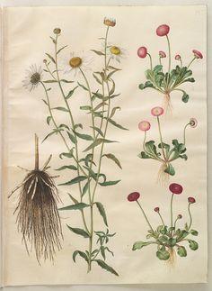 Chrysanthemum leucanthemum; Bellis perennins simp et pl, KKSgb2949/15