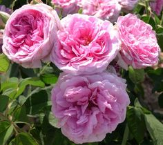 Comte de Chambord is such a great Damask rose. Small blooms, but powerful scent.
