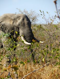 Elephant #wildlife #southafrica #safari #interfacttravel