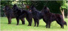 beautiful dogs!  Belgian Sheepdogs (Groenendael)