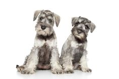 Miniature schnauzer puppies on white background. Miniature schnauzer puppies on , Raza Schnauzer, Schnauzer Grooming, Schnauzer Puppy, Black Schnauzer, Miniature Schnauzer Puppies, Giant Schnauzer, Puppies For Sale, Dogs And Puppies, Doggies