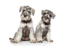 Standard Schnauzer puppies dogs Puppy Dog
