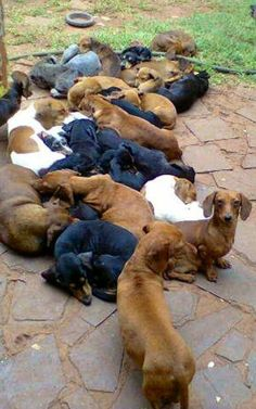 Talk about a doxie pile!