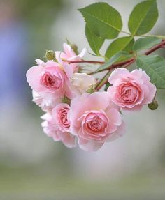37 ideas for flowers beautiful rose floral My Flower, Pretty Flowers, Pink Flowers, Rosa Rose, Flower Wallpaper, Mobile Wallpaper, Flower Photos, Nice Flower Picture, Beautiful Roses