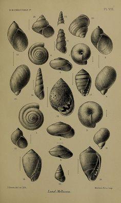 Shells - Biodiversity Heritage Library