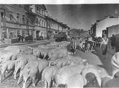 Pigs a coming into town. The siege of Leningrad.