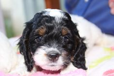 1000 images about american cocker spaniel on pinterest - Free cocker spaniel screensavers ...