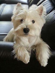 Westie - O West Highland White Terrier compartilha raízes com outros terriers da Escócia, na caça de raposas, texugos e vários animais nocivos. O Westie, o Dandie Dinmont, o Skye, o Cairn e o Terrier Escocês, eram considerados ao mesmo tempo uma só raça c