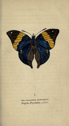 Paralekta butterfly (Papilio paralekta). The book of butterflies, sphinxes and moths v.3 London,Whittaker,1832-34. Biodiversitylibrary. Biodivlibrary. BHL. Biodiversity Heritage Library