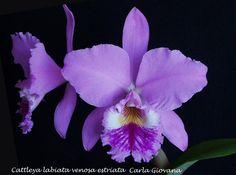 cattleya labiata venosa estriata - purple