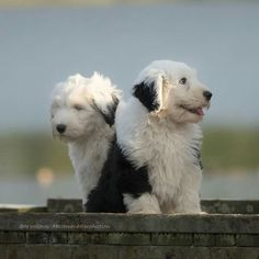 Old English Sheepdog puppies....almost too cute!