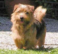 'norfolk terrier full' by marasdaughter Sealyham Terrier, Fox Terrier, Terrier Dog Breeds, Terrier Mix Dogs, Cairn Terriers, Norfolk Terrier, Norwich Terrier, Akc Breeds, Dog Breeds List