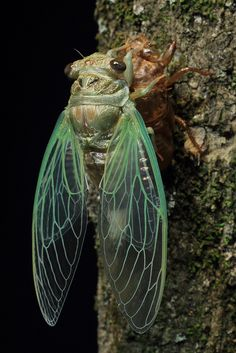 Cicada finished molting | Flickr - Photo Sharing!
