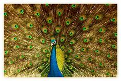 "500px / Photo ""The PP.. [peacock portrait :)]"" by Samrat Mukhopadhyay"