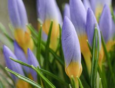 Crocus buds emerging on February 4th captured in Seattle, Wa.