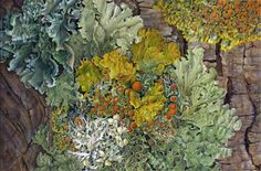 """Lichen"" by Susannah Blaxill, Botanical Artist."