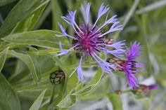 Centaurea flowers