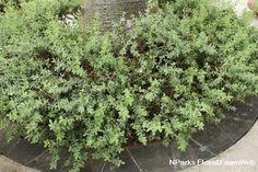 Leucophyllum frutescens-moderate to little water