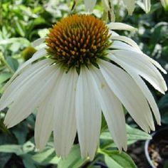 40 White Swan Echinacea Coneflower / Flower Seeds by Seedsbycheryl