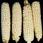60 days when planted in Arizona monsoon.   Drought hardy might take longer other places.  Worth trying for flours.