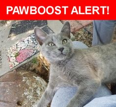 Is this your lost pet? Found in Amarillo, TX 79106. Please spread the word so we can find the owner!  Looks to be at least part Russian Blue. More dark gold, than green eyes. Maybe 8 weeks old.   Near Sunset Ter & Cheyenne Ter