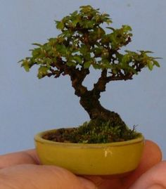 miniature bonsai, shohin, mame bonsai