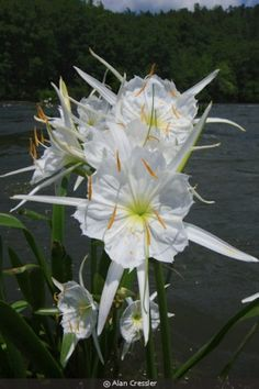 Native Plants for your garden Water Garden Plants, Bog Plants, Types Of Plants, Native Plants, Indoor Flowering Plants, Indoor Flowers, Cahaba River, Lilies Drawing, Rain Lily