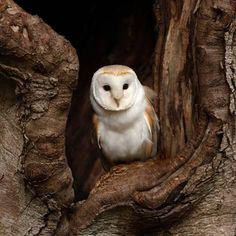 Photographic Print: Barn Owl by jack53 : 16x16in