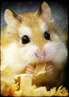 Pumpkin!! Loves to eat and is very energetic! Constantly on his wheel and loves to cuddle!!