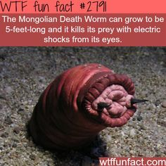 The mongolian death worm - WTF fun facts.................... More of a WFT scary fact.