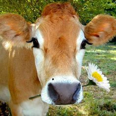 My cows will hold daisies in their mouths