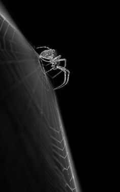 Spider / Black and White Photography Animal Photography, Nature Photography, Spider Art, Spider Webs, Beautiful Bugs, Foto Art, Tier Fotos, Black And White Photography, Oeuvre D'art