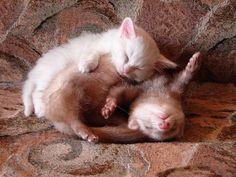 cute kitten cuddles with ferret friend