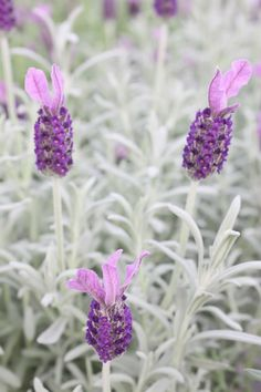 Distinctive silvery grey foliage with compact, upright habit. One of the hardiest Spanish types. Backyard Plants, Landscaping Plants, Garden Plants, Provence Lavender, Lavender Garden, Spanish Lavender, Blue Plants, Purple Trees, Moon Garden
