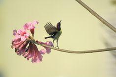 A Ballet Dancer! (purple-rumped sunbird male - Nectarinia zeylonica)