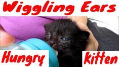 Hungry Kitten Wiggles With Here Ears Animals And Pets, Funny Animals, Cute Animals, Funny Cat Videos, Funny Cats, Old Bottles, Great Pictures, Cats And Kittens, Cat Lovers