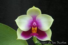 Moth-orchid: Phalaenopsis bellina 'Goblin' - Flickr - Photo Sharing!