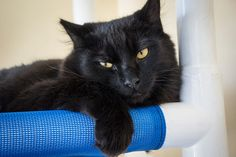 *RESCUED BY FIX OUR FERALS* A034476  My name is NOAH. I am a neutered male, black Domestic Shorthair.  The shelter staff think I am about 11 months old.  I have been at the shelter since Sep 11, 2014.
