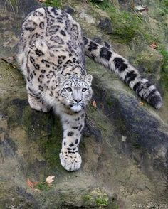 Such beautiful, magnificent creatures. #snowleopards #bigcats