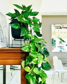 Give your space an indoor jungle vibe the easy way with this lush, trailing houseplant. We have all the tips to grow and propagate your pothos plant. Big Plants, Colorful Plants, Green Plants, Big Indoor Plants, Plante Pothos, Pothos Vine, Pothos Plant Care, Golden Pothos Plant, Air Cleaning Plants