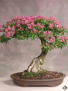 .flowering bonsai