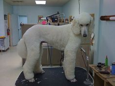 The Hottest Hairstyles for Your Dogs Poodle Grooming, Cat Grooming, Dog Haircuts, Dog Hairstyles, I Love Dogs, Cute Dogs, Lamb Cuts, Poodle Cuts, Dogs And Puppies