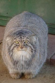 Manul, or Pallas cat. - Imgur