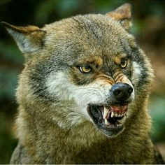 Wolf Images, Wolf Photos, Wolf Pictures, Animal Pictures, Free Pictures, Wolf Spirit, Spirit Animal, Beautiful Creatures, Animals Beautiful