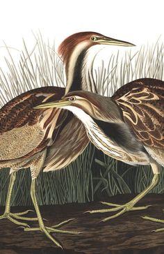 John James Audubon& Birds of America Audubon Prints, Audubon Birds, Nature Prints, Bird Prints, Wall Prints, Birds Of America, Viewing Wildlife, John James Audubon, Vintage Birds