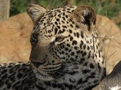 Leopards - the most unpredictable of the 5 big cats