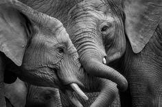 Architects Paper Fototapete Elefanten 470511: Elefant, Elefanten, Tier