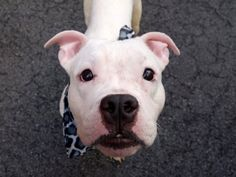 Manhattan Center BP – A1033331 *** BEGINNER HOME *** MALE, WHITE / GRAY, PIT BULL MIX, 5 yrs STRAY – STRAY WAIT, NO HOLD Reason ABANDON Intake condition EXAM REQ Intake Date 04/15/2015